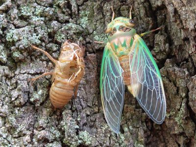 Cicada Condo Camp